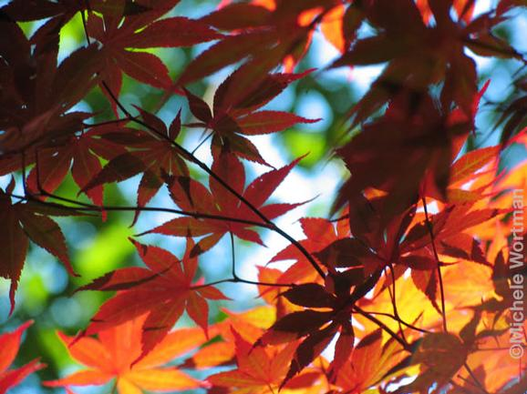 Michele Wortman - Maple Leaves