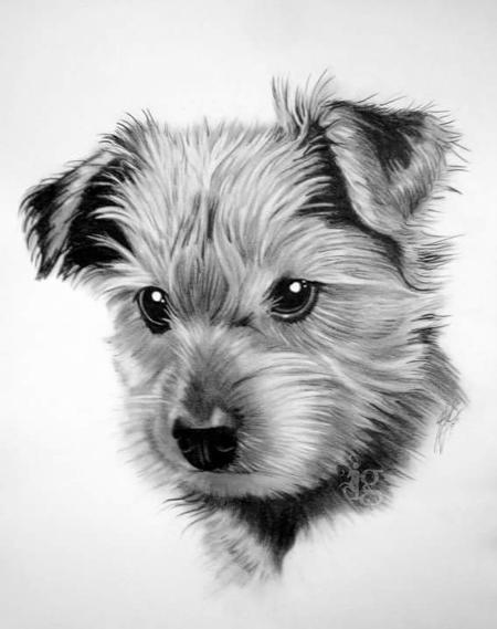 Haylo - Yorkshire Terrier puppy pencil drawing by Haylo