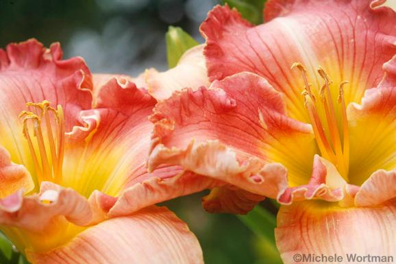 Michele Wortman - Daylilies